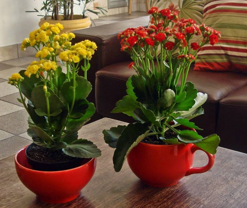 Как заставить цвести каланхоэ в домашних условиях: как ухаживать