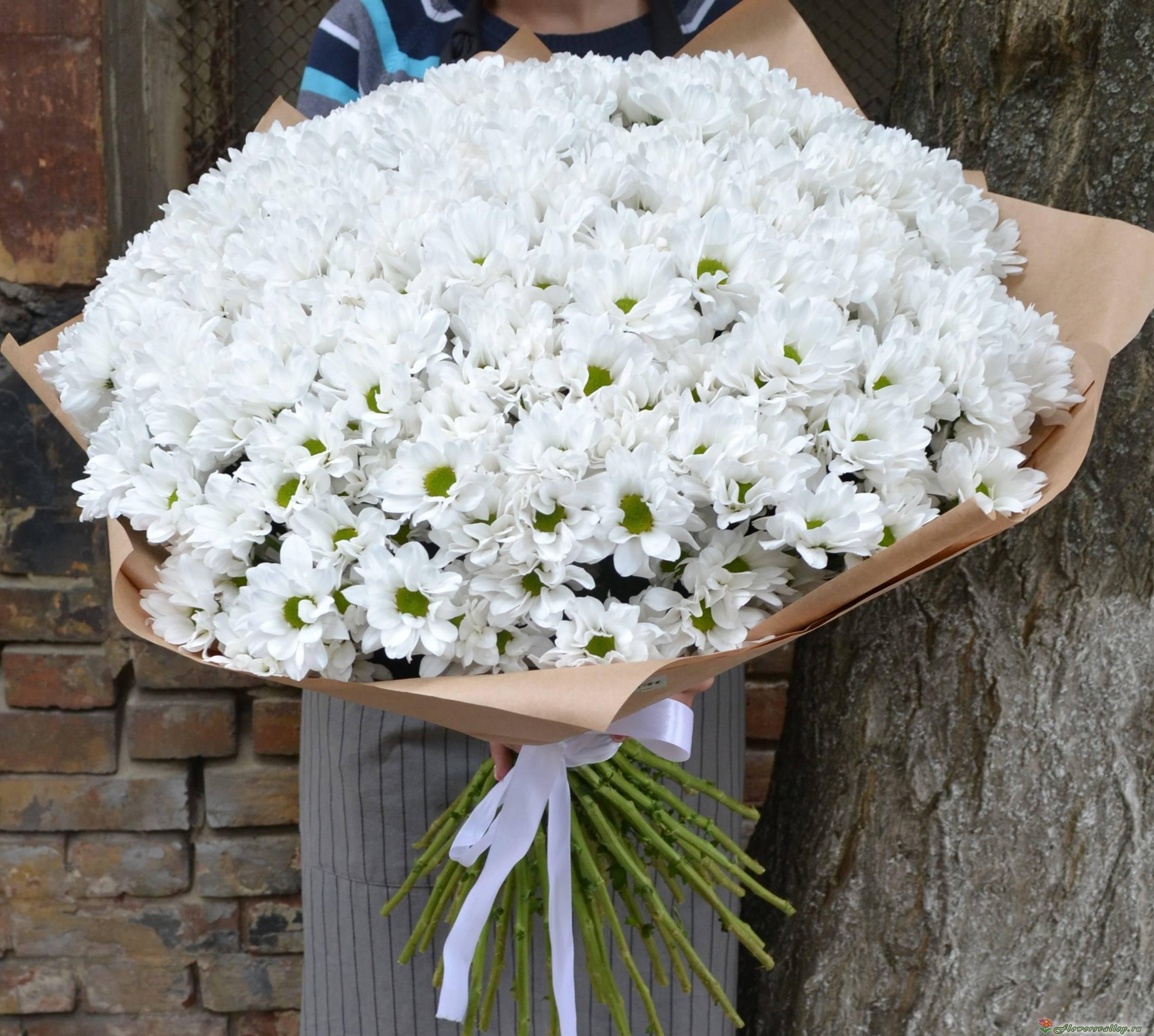 Как посадить хризантему бакарди в саду: правила ухода за кустовым цветком