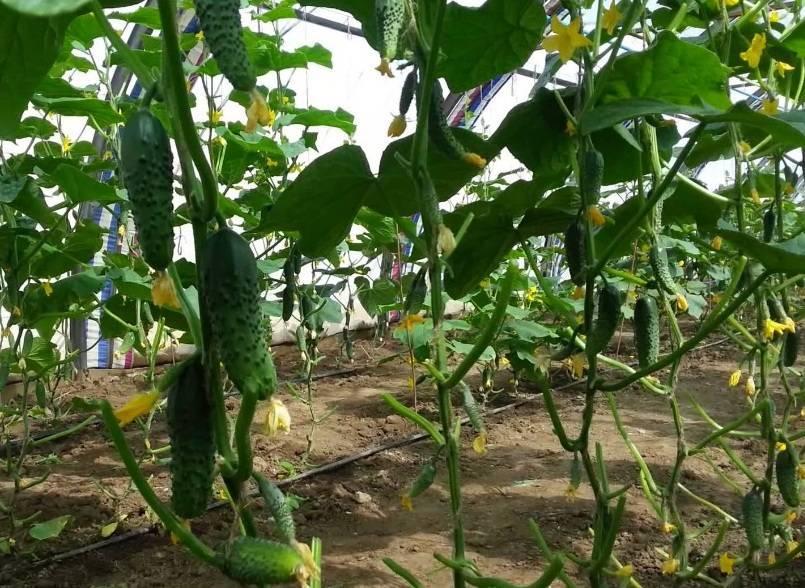 Как вырастить огурцы зимой в теплице