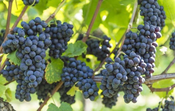 Обзор лучших 13 универсальных сортов винограда