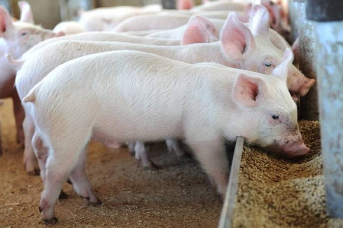 Преимущества использования витаминов для свиней и поросят, список эффективных препаратов