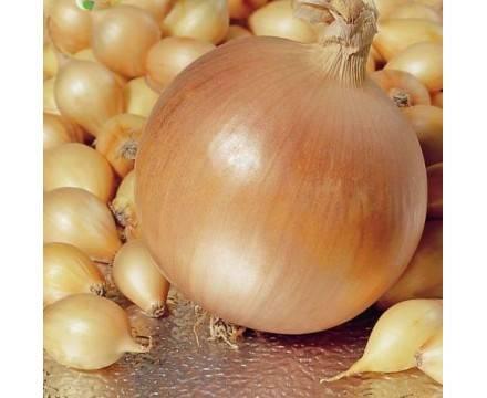 Как вырастить лук сорта «шетана»? характеристика, описание и фото культуры