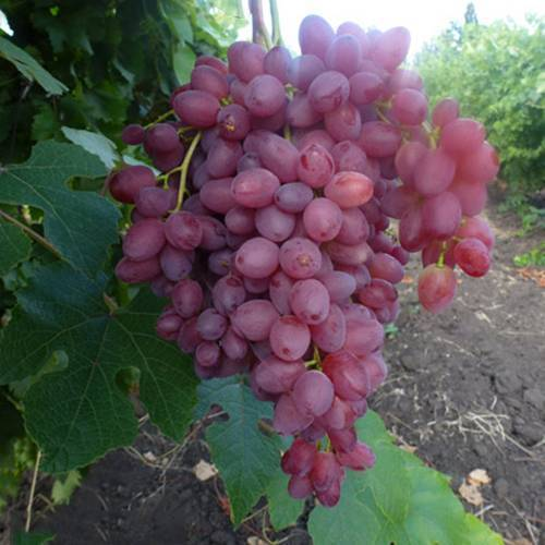 Описание сорта винограда кишмиш велес: фото и отзывы | vinograd-loza