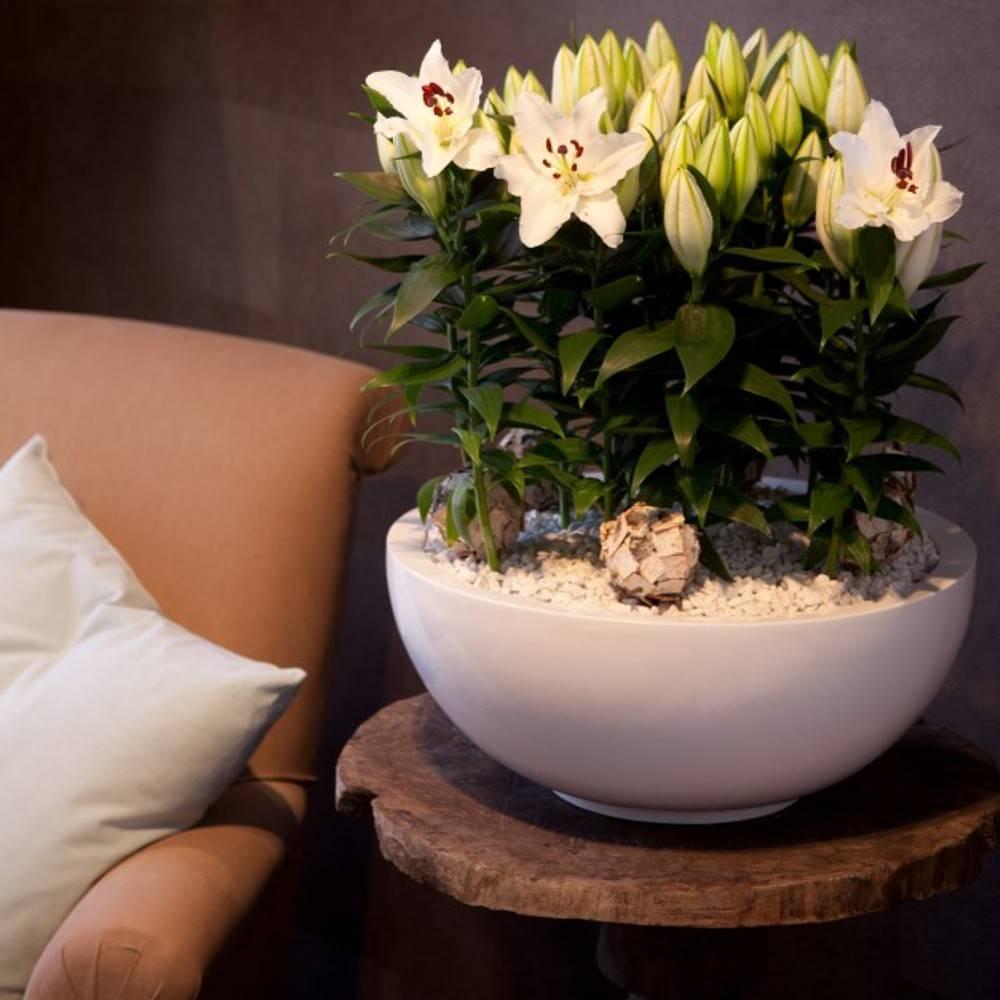 Лилия в горшке — уход в домашних условиях