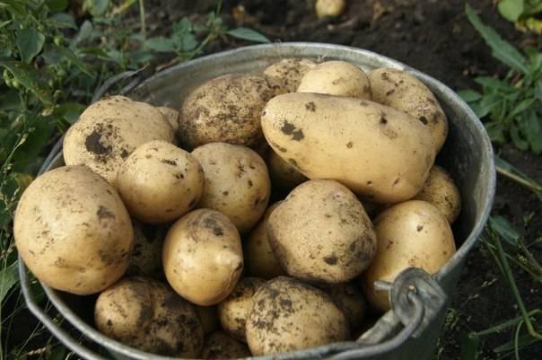Сорт картофеля любава: характеристика, описание с фото, отзывы