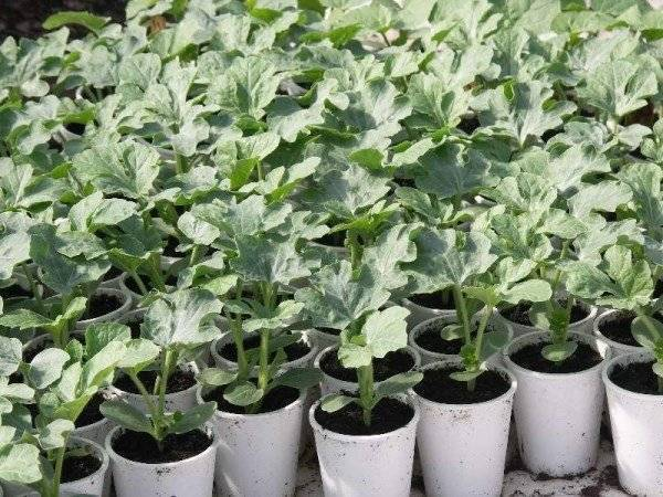 Выращивание арбузов в сибири и на урале в открытом грунте: секреты посадки и ухода