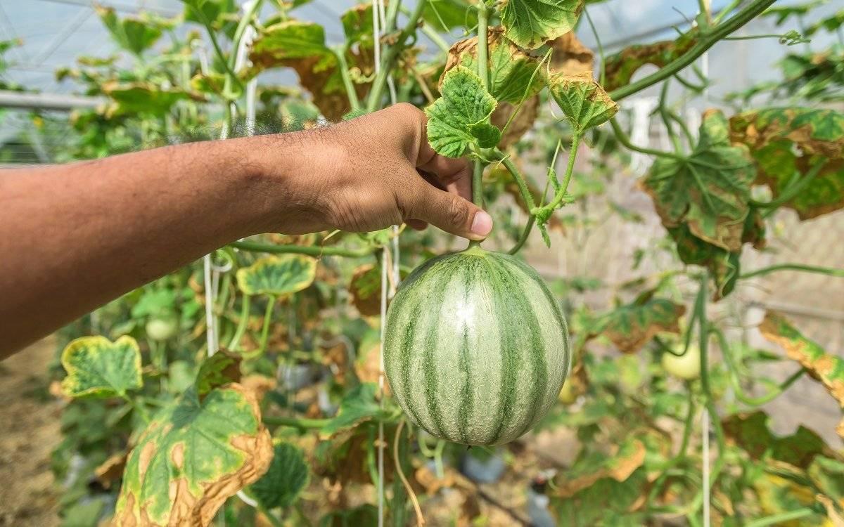 Особенности выращивания арбузов в теплице: выбор сорта, посадка и уход