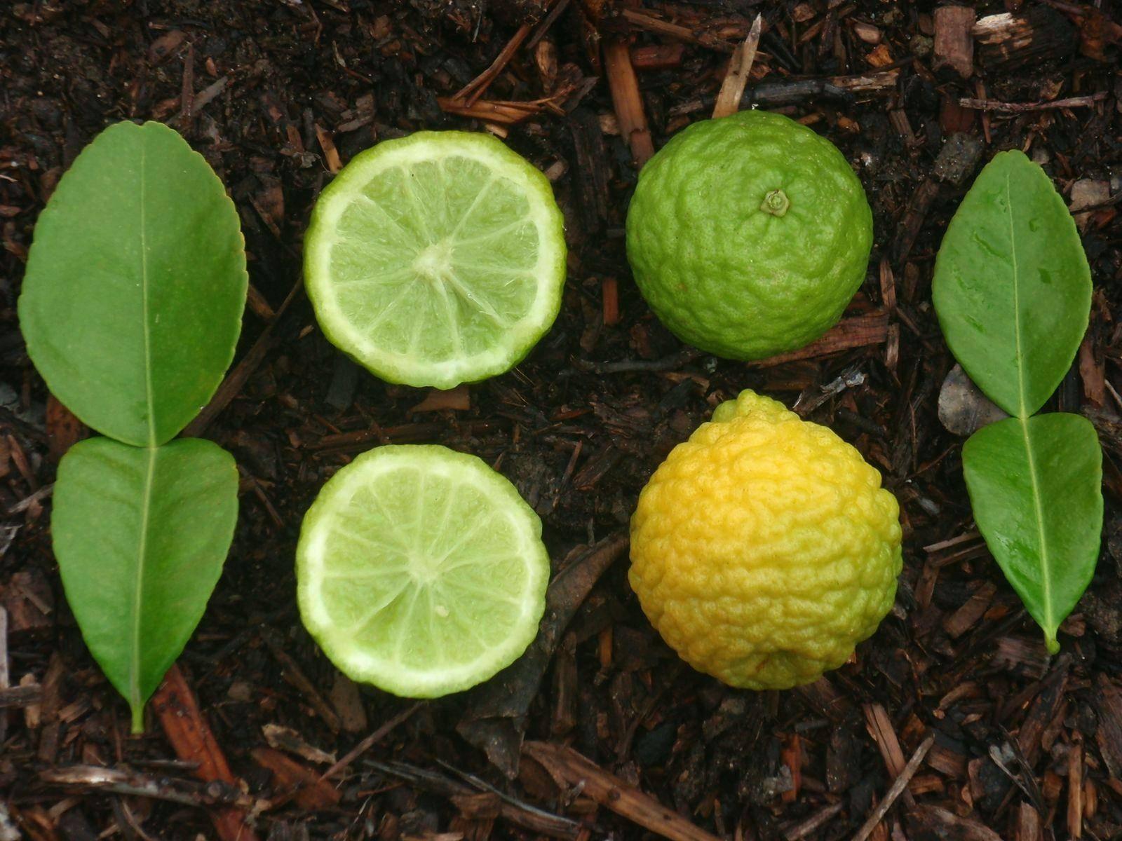 Фрукт лайм и его эфирное масло, листья: химический состав, полезные свойства и применение в медицине