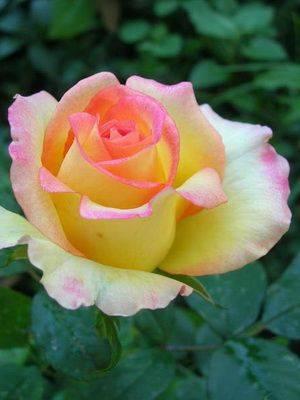 Розы, цветущие все лето: описание лучших сортов