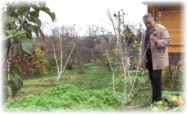 Уход за яблоней осенью – подготовка к зиме: обрезка, подкормка, побелка, обработка – 4 сезона огородника