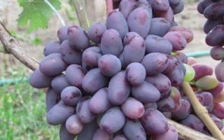 Виноград байконур: описание сорта, фото, отзывы, видео