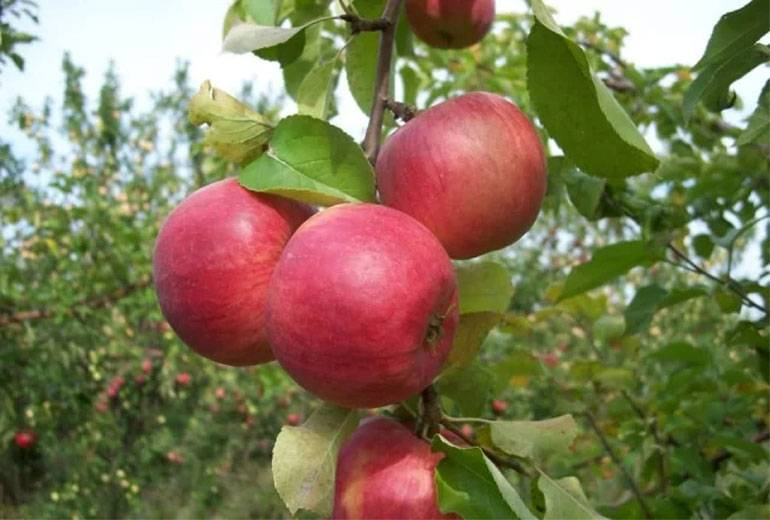 Яблоня жигулевское: характеристика, фото и описание сорта, отзывы
