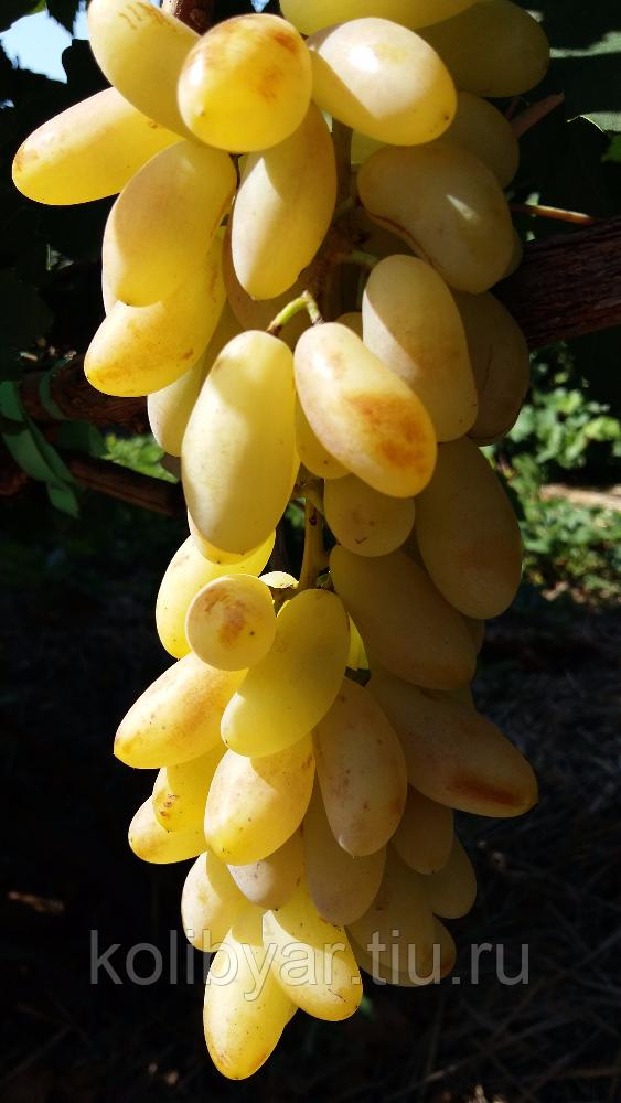 Дамский пальчик виноград