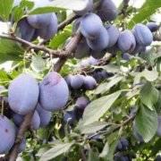 Слива блюфри: описание и характеристики сорта, особенности ухода и выращивания, урожайность, фото
