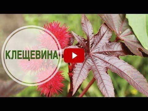 Клещевина - выращивание из семян, когда сажать на рассаду, основные правила посадки