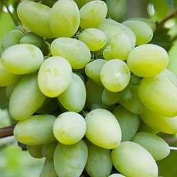 ᐉ спонсор - сорт винограда - roza-zanoza.ru