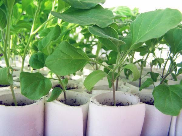 Выращивание баклажан: уход при посадке в открытый грунт