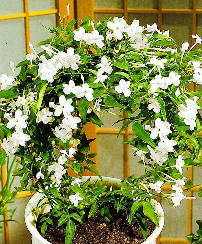 Цветы жасмин: описание, виды, посадка и советы по уходу - sadovnikam.ru