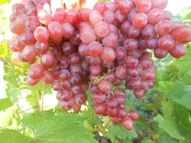 Виноград «велес»: описание сорта, фото и отзывы