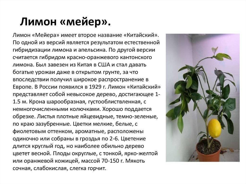 Лимон мейера: уход в домашних условиях и правила выращивания