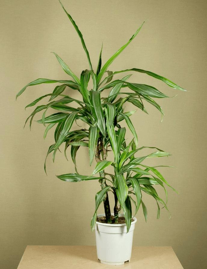 Драцена сандера (31 фото): особенности «счастливого бамбука», уход в домашних условиях. способы размножения комнатного цветка. что делать, если у него желтеют листья?