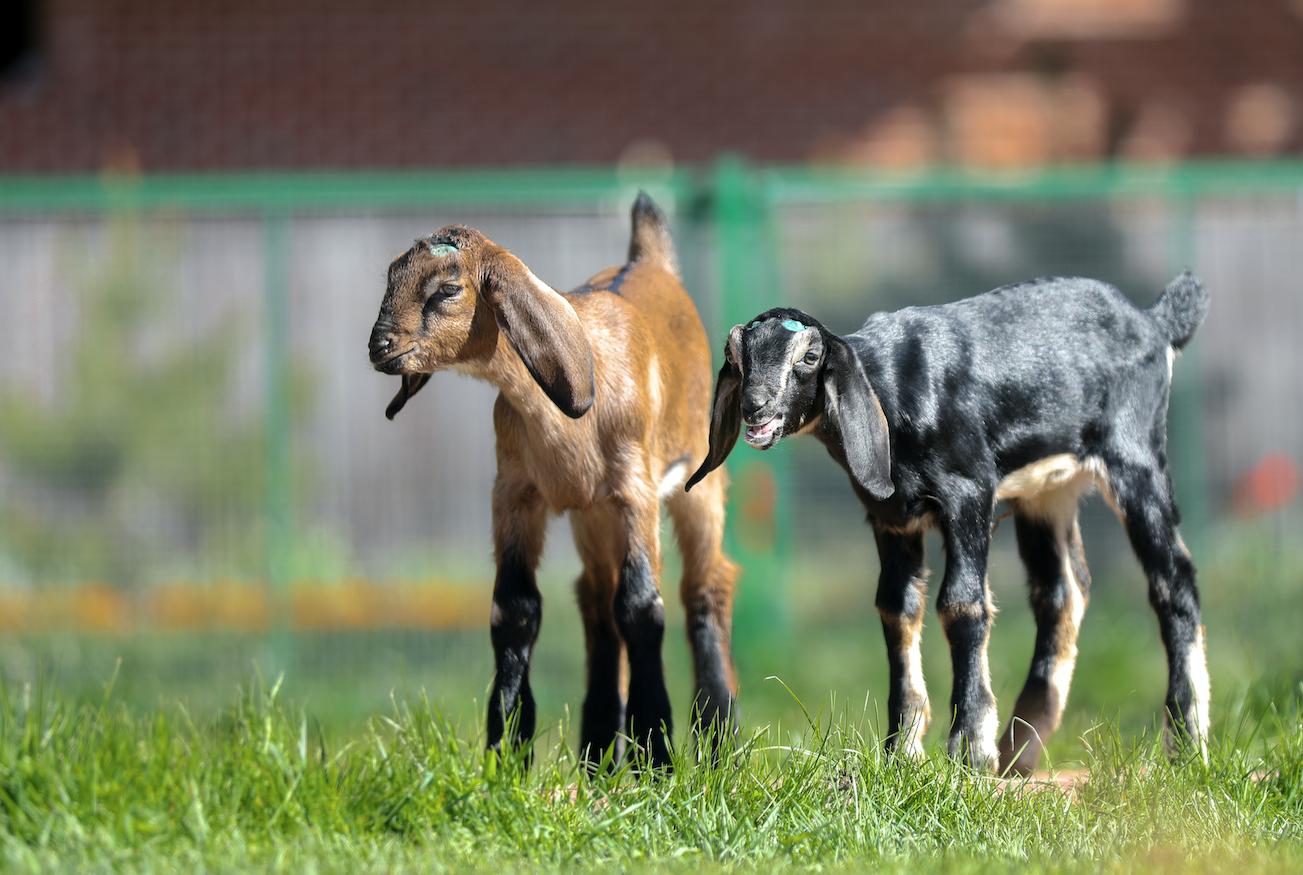 Англо-нубийские козы: фото породы, описание, характеристики, условия содержания.