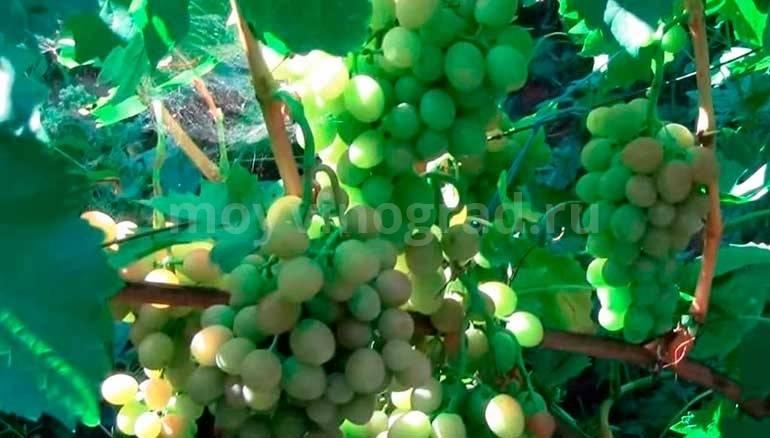 Краткое описание наших сортов винограда - правильно посадить виноград