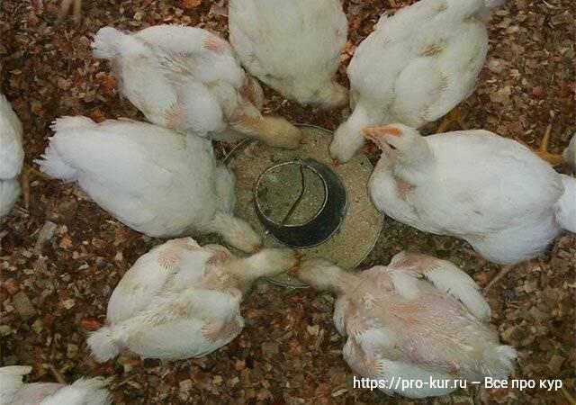 Кормление цыплят бройлеров, уход за ними в домашних условиях и болезни от неправильного рациона, особенности питания породы в разном возрасте selo.guru — интернет портал о сельском хозяйстве