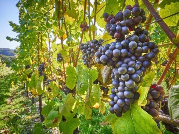 Виноград левокумский: описание сорта, фото, отзывы