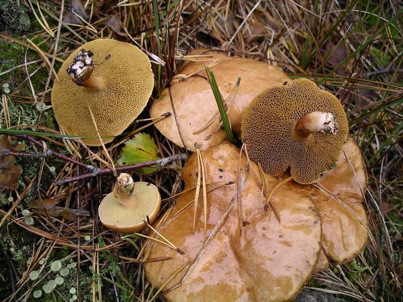 Горькуша грибы как готовить