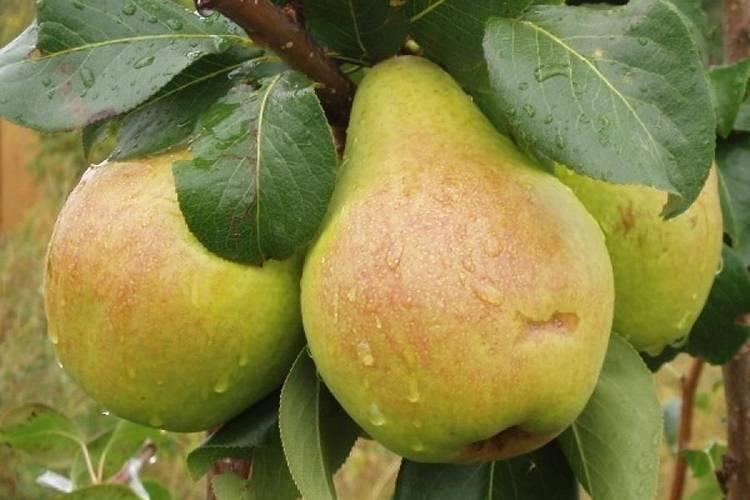 Характеристика груши сорта Ефимова нарядная
