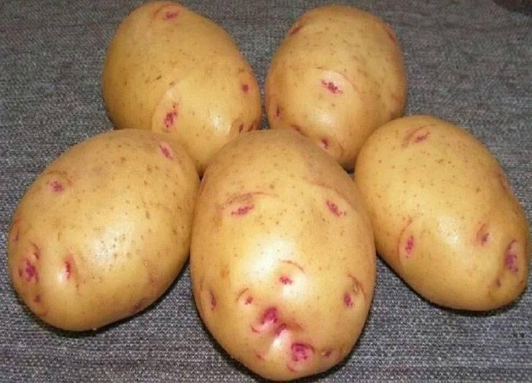 Картофель ласунок: характеристики сорта, урожайность, отзывы
