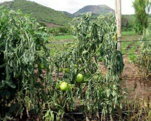 Лечение томатов, пораженных фузариозом