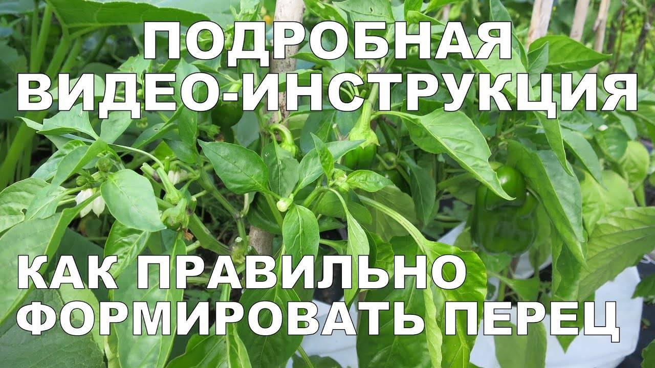 Перцы: уход и выращивание в теплице, путь от посадки до сбора урожая, особенности возделывания сладкого (болгарского) и горького перца в парнике