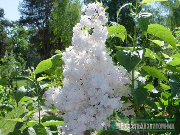 Красавица москвы (krasavitsa moskvy) | огородные хитрости
