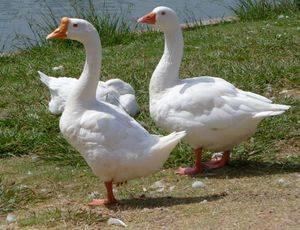 Домашнее выращивание гусей – хорошие результаты при небольших хлопотах