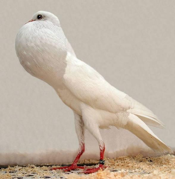 Выращивание голубей - как правильно разводить и ухаживать в домашних условиях (90 фото)