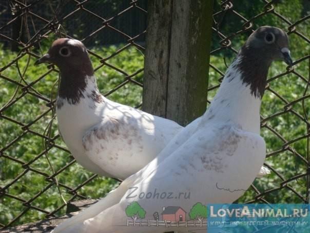 Антибиотик родотиум — ваши голуби защищены от болезней!