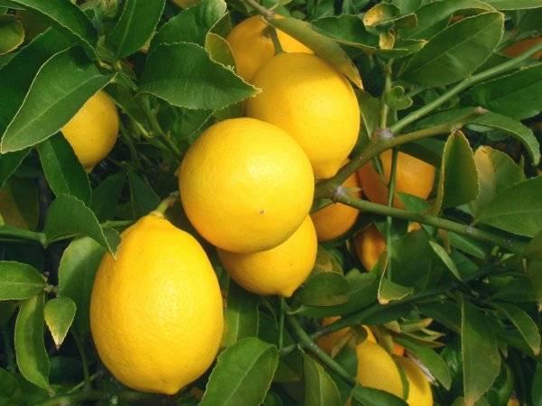 Виды цитрусовых для комнатного выращивания: обзор популярных