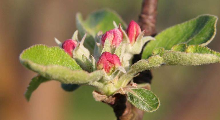 Правила прививки яблонь