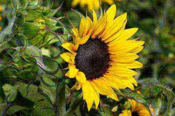 Когда и как садить подсолнухи в открытом грунте, фото, размножение, сорта, выращивание