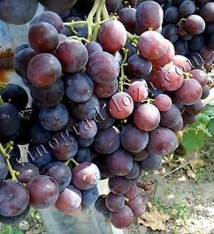 """Виноград """"рошфор"""": описание сорта, фото, отзывы"""