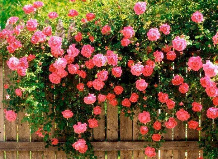 Полиантовые розы — популярные сорта с описанием и фото