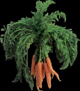 Посадка моркови под зиму: когда сеять, сроки, календарь