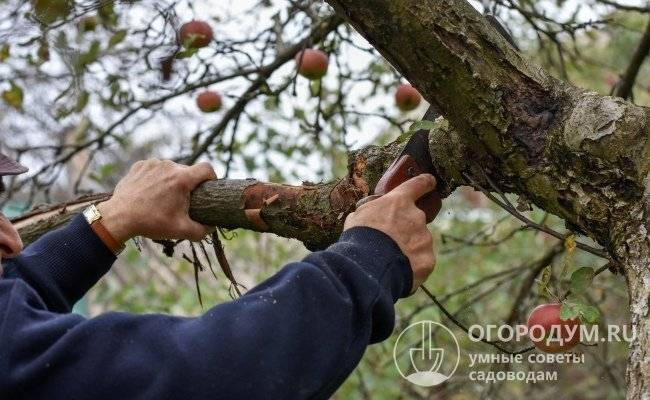 Обрезка яблонь осенью: схема, как правильно, когда, видео для начинающих