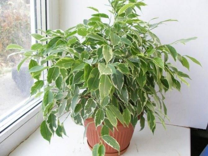 Фикус бенджамина сбрасывает листья: что делать?