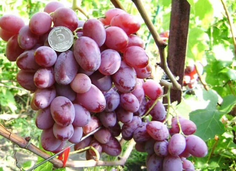 Виноград виктор: описание и характеристика сорта, посадка и уход, размножение