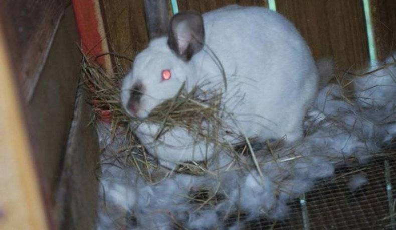 Гнездо крольчихи: почему не делает, когда рвет пух