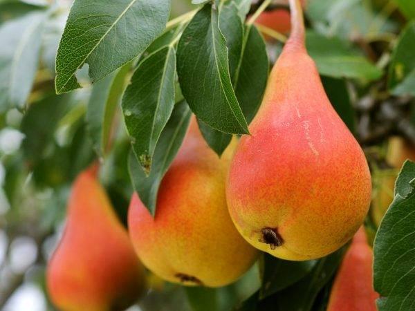 Груша нарядная ефимова: описание сорта и урожайность, посадка и уход с фото