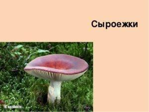 Как отличить съедобную рядовку серую от ложных ядовитых двойников? описание и фото гриба